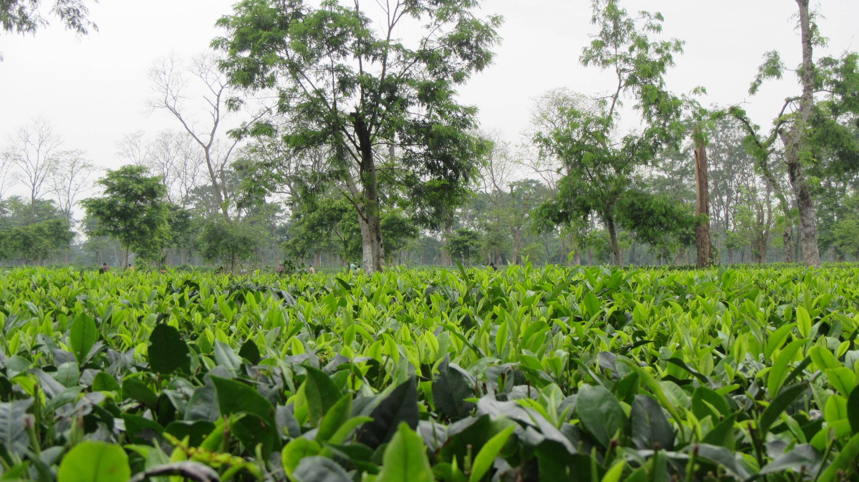 Protea propone i corsi sul tè in collaborazione con la Tea Association of Canada
