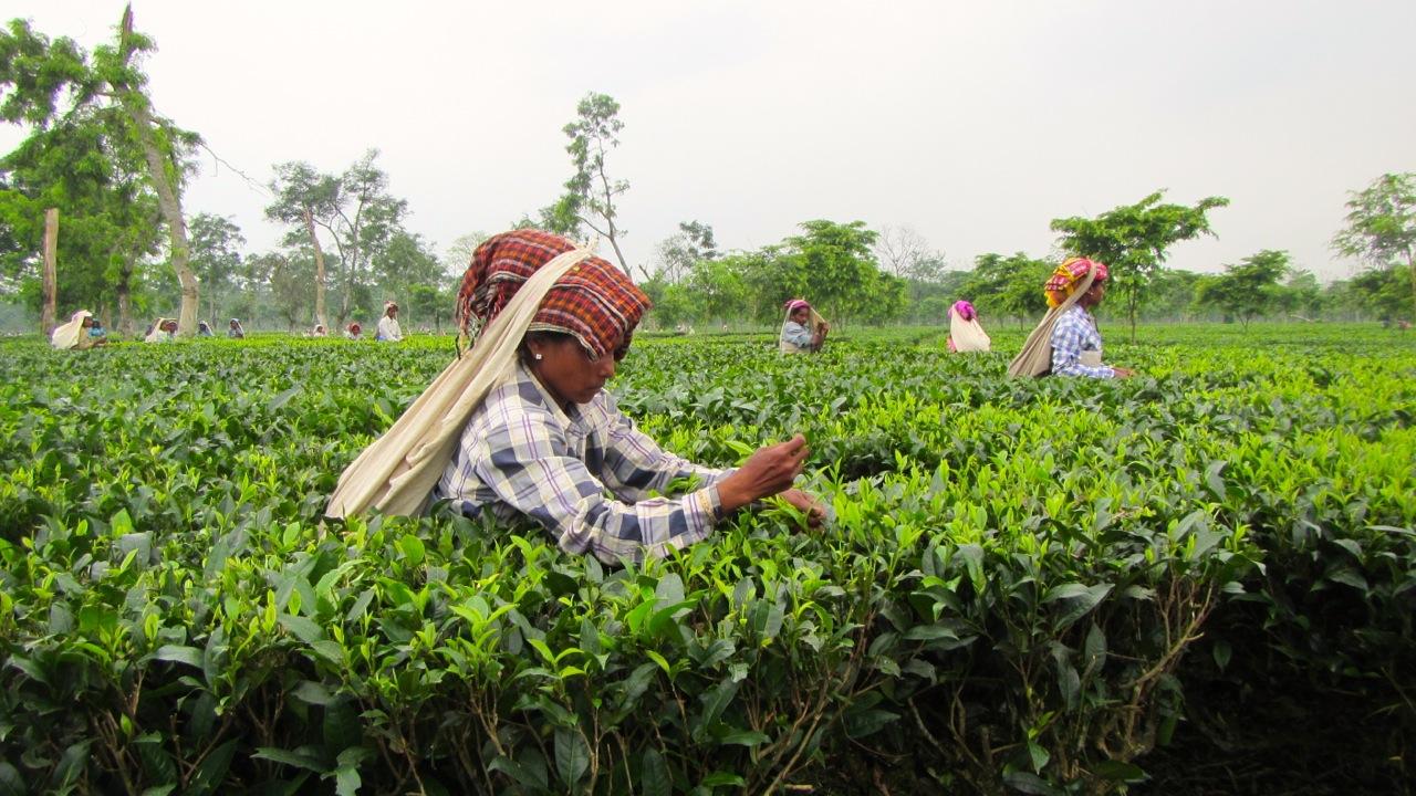 Il corso sul tè TEA 102 approfondisce la produzione del tè nel mondo e i principali Paesi produttori