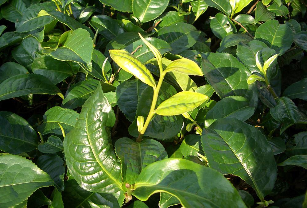 corso TEA 105 - Dalla pianta alla tazza