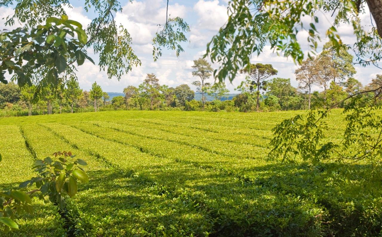 Viaggio alla scoperta del tè argentino – 18/25 Marzo