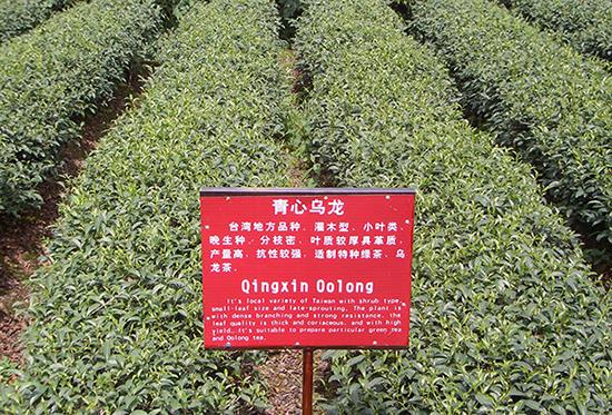 corso 104 famiglie del tè