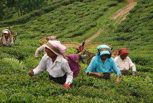 corso tea paesi produttori del tè