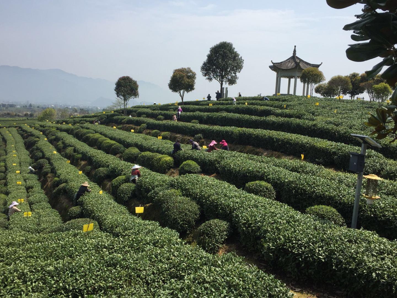 Diventa TAC TEA SOMMELIER® – Nuove date corsi Tea 106, Tea 101, Tea 103, Tea 107